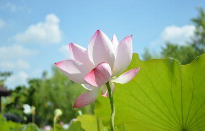 lotus-746700_1280
