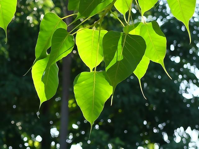 bodhi-leaf-1583102_640